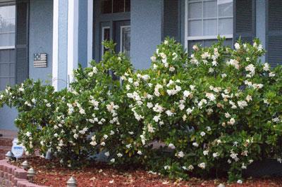 Gardenia Bushes - Florida c. 2009  All rights: Pegeen.com